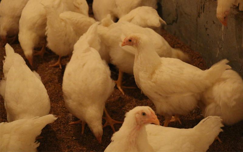 这批鸡13周多了。